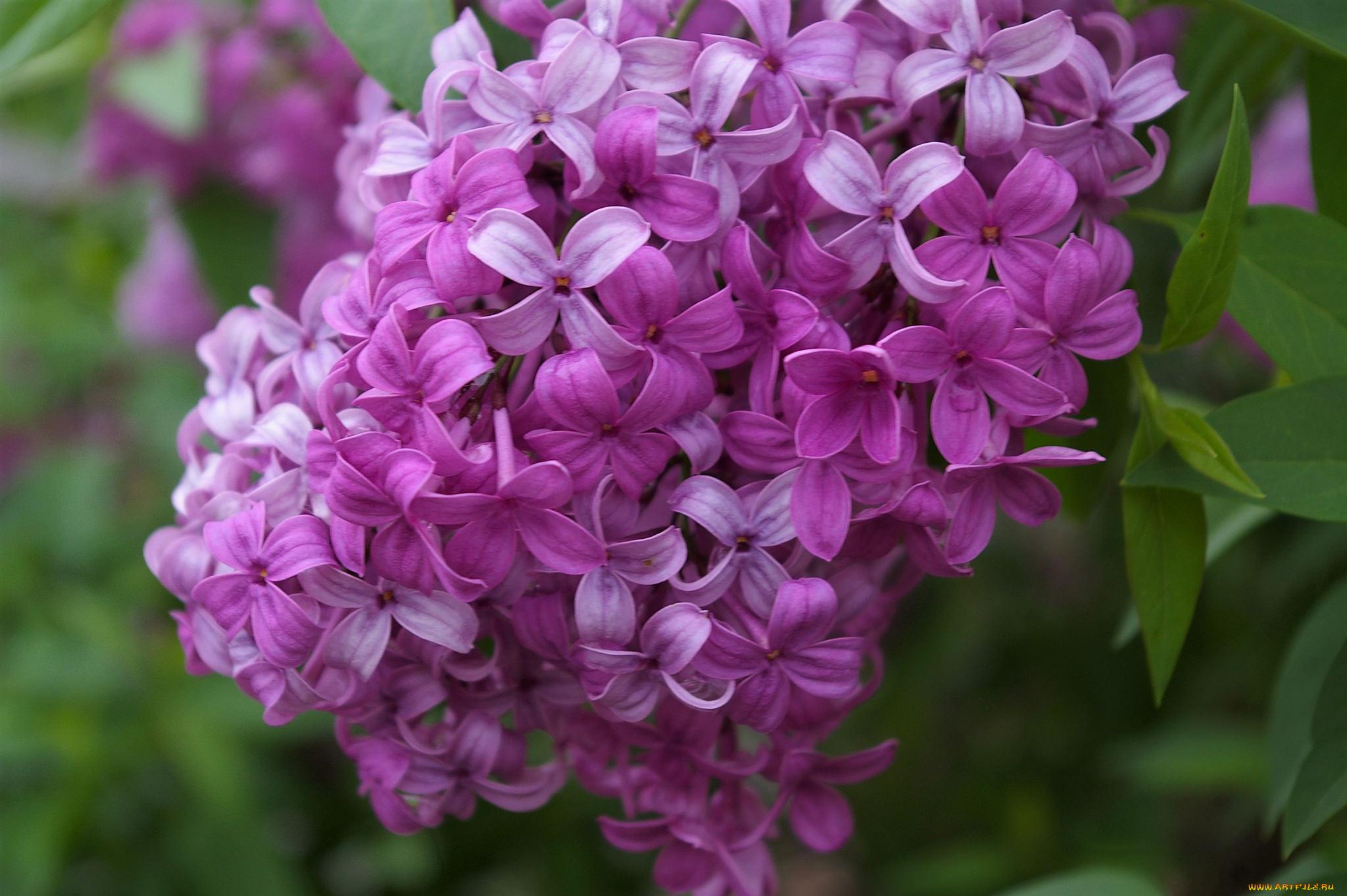 Фото сирени один цветок